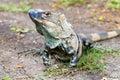 Young male Green iguana - Iguana Iguana Royalty Free Stock Photo