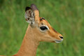 Young male impala (Aepyceros melampus) Royalty Free Stock Photo