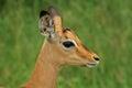 Young male impala (Aepyceros melampus) Royalty Free Stock Photo