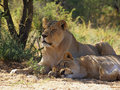 Young male lion and lioness resting in shade Royalty Free Stock Photo