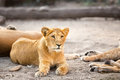 Young male lion resting with family Stock Photo