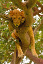 Young Male Lion Resting in a Tree Royalty Free Stock Photo