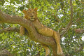 Young male lion in a tree the ishasha region of queen elizabeth national park Royalty Free Stock Images