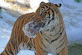 Young male tiger carrying wet ice chunk in snow Royalty Free Stock Photo