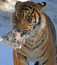 Young male tiger carrying wet icy pinecone in snow Stock Photography