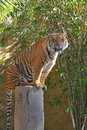 Young male tiger staring at viewer from top of palm tree stump Stock Photography