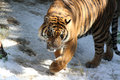 Young male tiger walking in snow Royalty Free Stock Photography