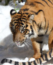 Young male tiger walking in snow with bright sunlight Stock Photography