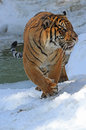 Young male tiger walking in snow near icy pond Stock Photography