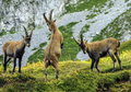 Young male wild alpine capra ibex or steinbock fighting in alps mountain france Stock Photos