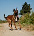 Young malinois Stock Photos