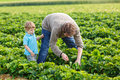 Young man and his son on organic strawberry farm men in summer picking berries Royalty Free Stock Image