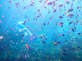 Young man snorkeling among coral fishes Royalty Free Stock Photo