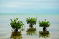 Young mangrove trees growing n caribbean sea near barrier reef belize Royalty Free Stock Photography