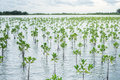 Young mangrove trees reservation in sea salt water Stock Photo