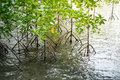 Young mangrove trees in sea salt water Stock Photo