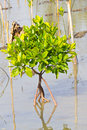 Young mangrove in wetlands near the sea Royalty Free Stock Photos