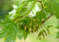 Young maple leaves in spring Royalty Free Stock Photo