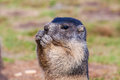 Young marmot while eating alpine marmota marmota Stock Photography