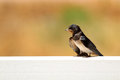 Young martin delichon urbicum a migratory passerine bird of t the swallow family which breeds in europe north africa and temperate Royalty Free Stock Photo