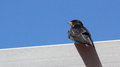 Young martin delichon urbicum a migratory passerine bird of t the swallow family which breeds in europe north africa and temperate Stock Images