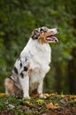 Young merle Australian shepherd look up Stock Image
