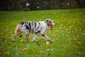 Young merle Australian shepherd playing with toy Royalty Free Stock Photos