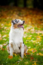 Young merle Australian shepherd portrait in autumn Royalty Free Stock Photography