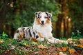 Young merle Australian shepherd portrait in autumn Royalty Free Stock Photo