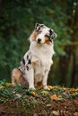 Young merle Australian shepherd portrait in autumn Royalty Free Stock Images