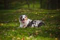 Young merle Australian shepherd relaxing Royalty Free Stock Image