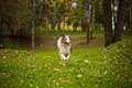 Young merle Australian shepherd running in autumn Stock Images