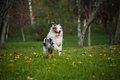 Young merle Australian shepherd running in autumn Royalty Free Stock Photos