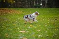 Young merle Australian shepherd running in autumn Royalty Free Stock Image