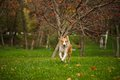 Young merle border collie running in autumn Royalty Free Stock Photo