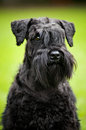 Young Miniature Schnauzer portrait Stock Image