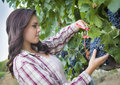 Young mixed race woman harvesting grapes in vineyard the outside Royalty Free Stock Photos