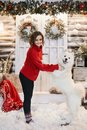 Young model woman in red sweater posing with fluffy Samoyed dog against the background of the New Year. Happy girl in Royalty Free Stock Photo