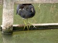Young moorhen balancing on the fence at rushcliff country park Stock Photo