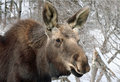 Young Moose Royalty Free Stock Image