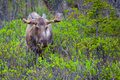 Young moose male in the wild in alaska Royalty Free Stock Photos
