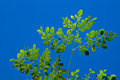 Young moringa tree against blue sky looking up at the leaves at the top of a used for alternative medicine backlit from sun Royalty Free Stock Photo
