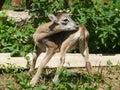 Young mouflon Royalty Free Stock Photo