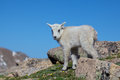 Young mountain goat a cute baby in the high alpine Stock Image