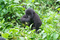 Young mountain gorilla Stock Photo