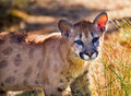 Young Mountain Lion Cougar Kitten Puma Concolor Royalty Free Stock Photo