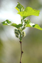 Young mulberry on trees. Royalty Free Stock Photo