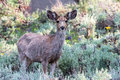 Young Mule Deer Buck in a Field of Sage Royalty Free Stock Photo