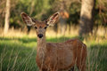 A young mule deer buck listens carefully with large ears. Royalty Free Stock Photo
