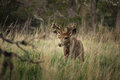A young mule deer buck walks slowly through the grass. Royalty Free Stock Photo